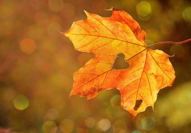 TAVI oder konventioneller Aortenklappenersatz - darüber entscheidet der Arzt in Abhängigkeit des Herzens - Symbolbild eines Herzens aus Herbstlaub.