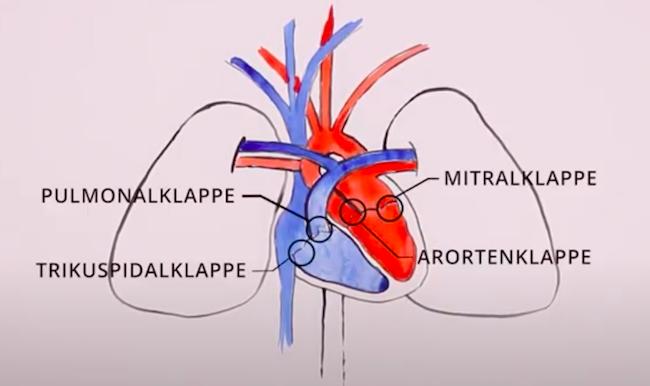 Grafische Darstellung des menschlichen Herzens inkl. Verortung der Herzklappen und des Blutflusses.